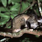 common-palm-civet