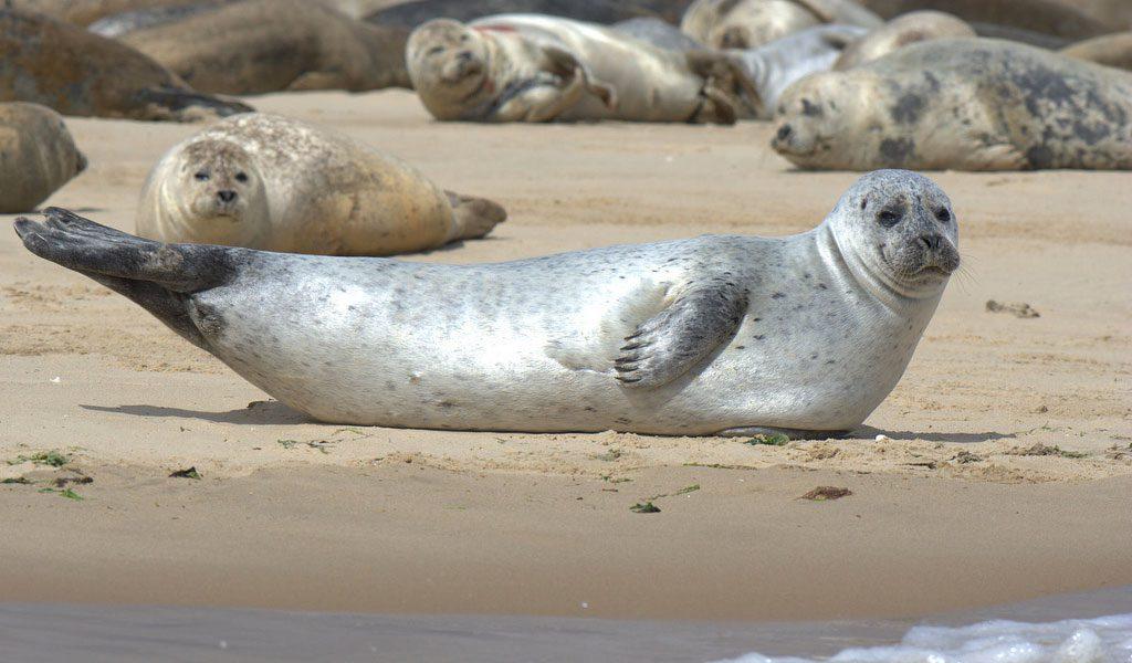 common-seal