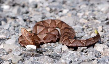 copperhead-snake