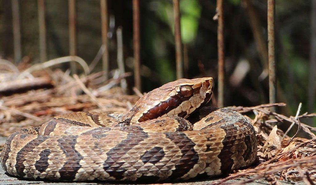 Hábitat de las Serpientes cottonmouth