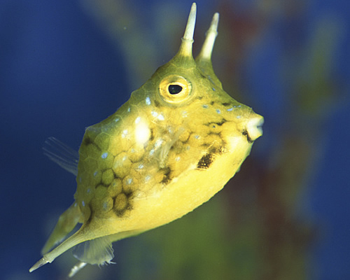 Longhorn Cow Fish