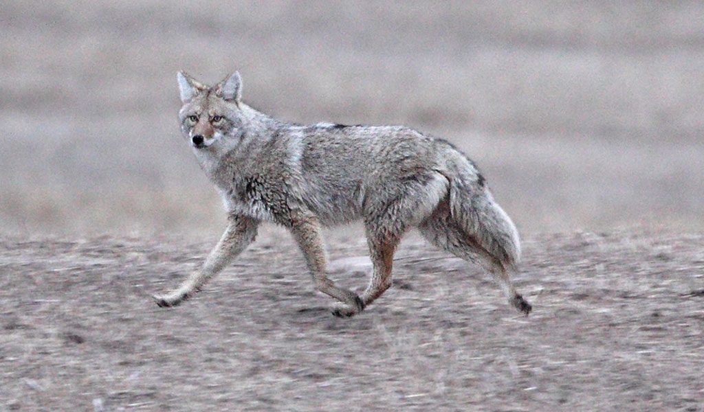 Coyote Key Facts Information Pictures