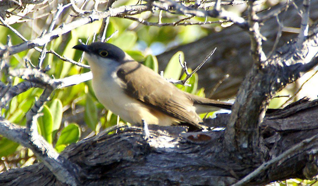 dark-billed-cuckoo