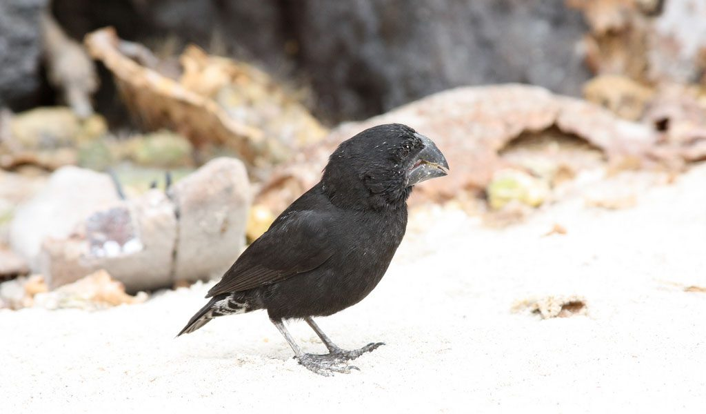 Darwin's Finches Galapagos Island Birds - Key Facts