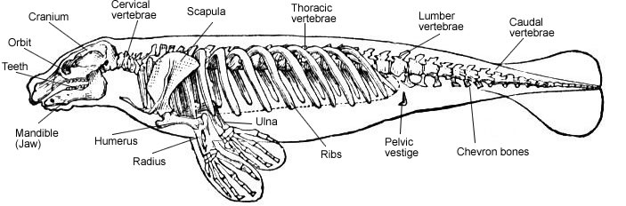 Manatee Anatomy Full Body Diagram