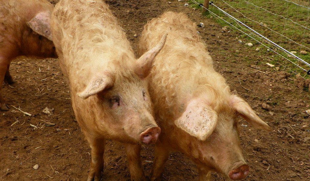 domestic-pig
