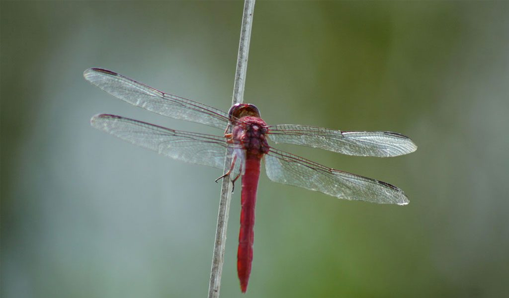 Dragonflies - Facts, Information & Pictures