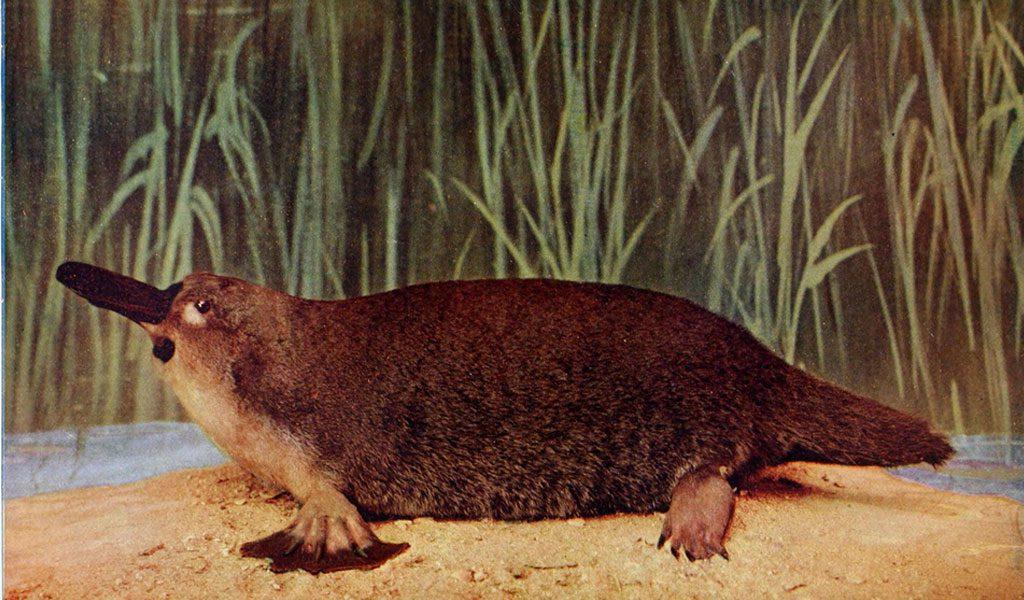 Duck-billed Platypus - Facts, Eggs & Habitat Information