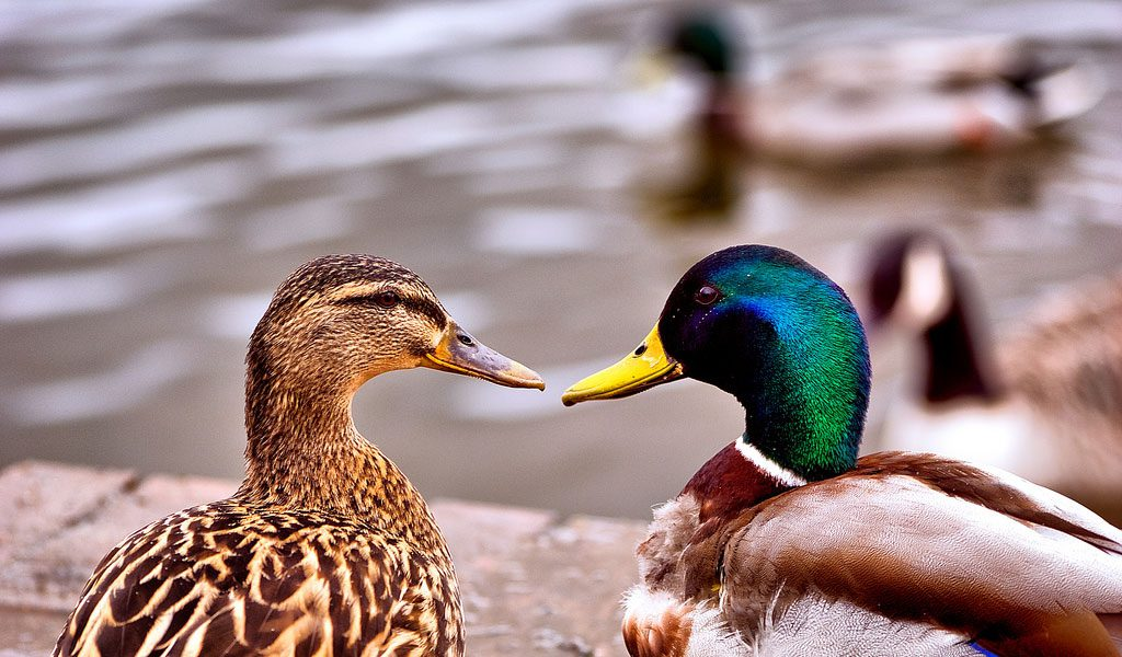 Ducks - Key Information, Facts & Pictures Of Ducks