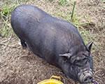 Duroc pigs