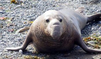 elephant-seal