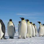 emperor-penguins