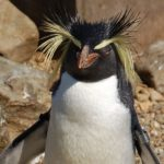 erect-crested-penguin