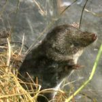 eurasian-water-shrew
