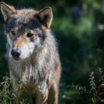 eurasian-wolf