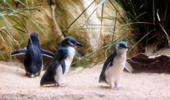fairy-penguin