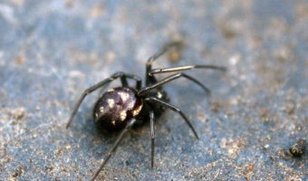 False Black Widow Spider Facts Bite Habitat Information
