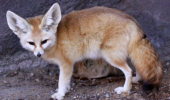 Fennec Fox - Key Facts, Information & Pictures