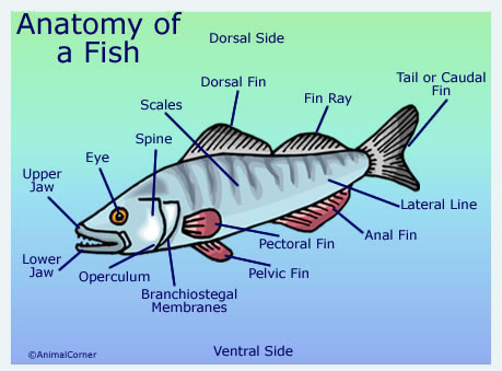 Fish Anatomy Diagram Pictures Of Fish Head Trunk Tail