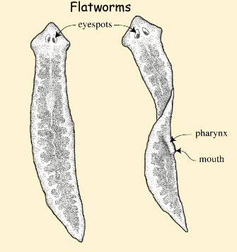 Flatworms Facts Diet Habitat Information