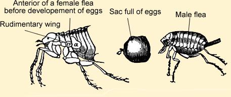 flea eggs