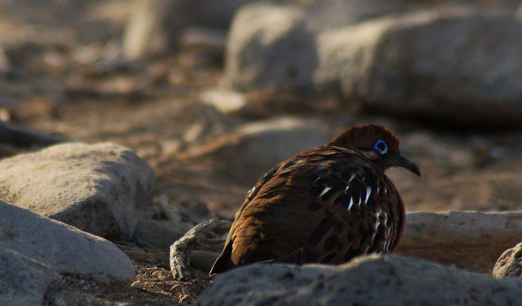 galapagos-dove