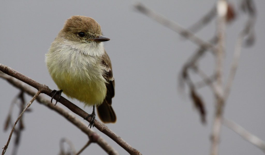 galapagos-flycatchers