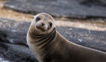 galapagos-fur-seal