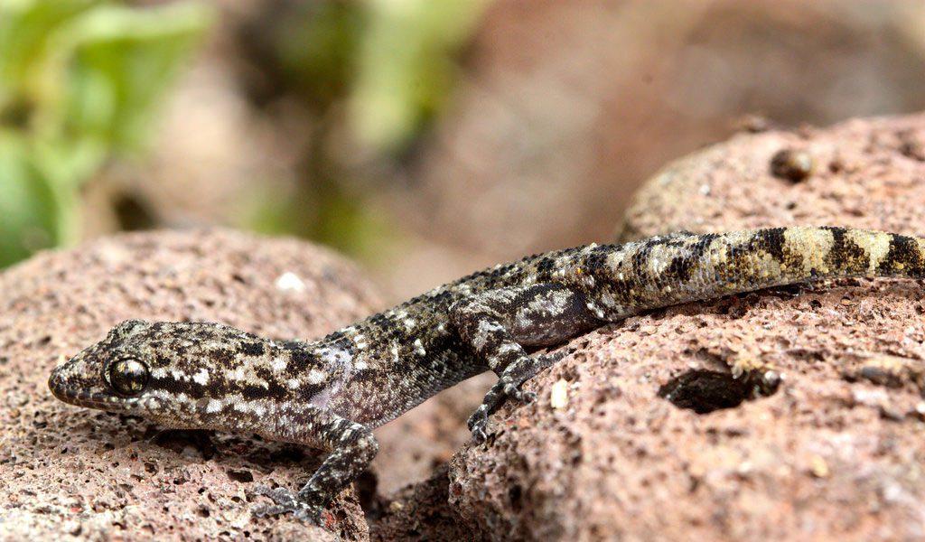 galapagos-gecko