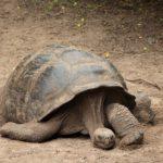 galapagos-giant-tortoise
