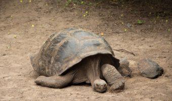 galapagos giant tortoise 1 340x200 galapagos giant tortoise facts, size & habitat information