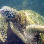 galapagos-green-sea-turtle