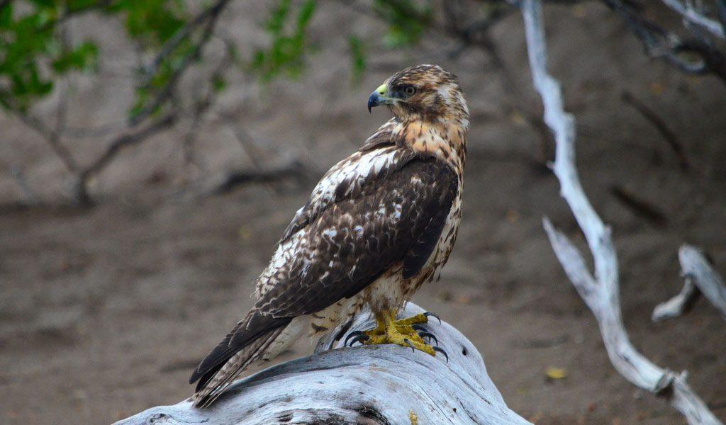 galapagos-hawk