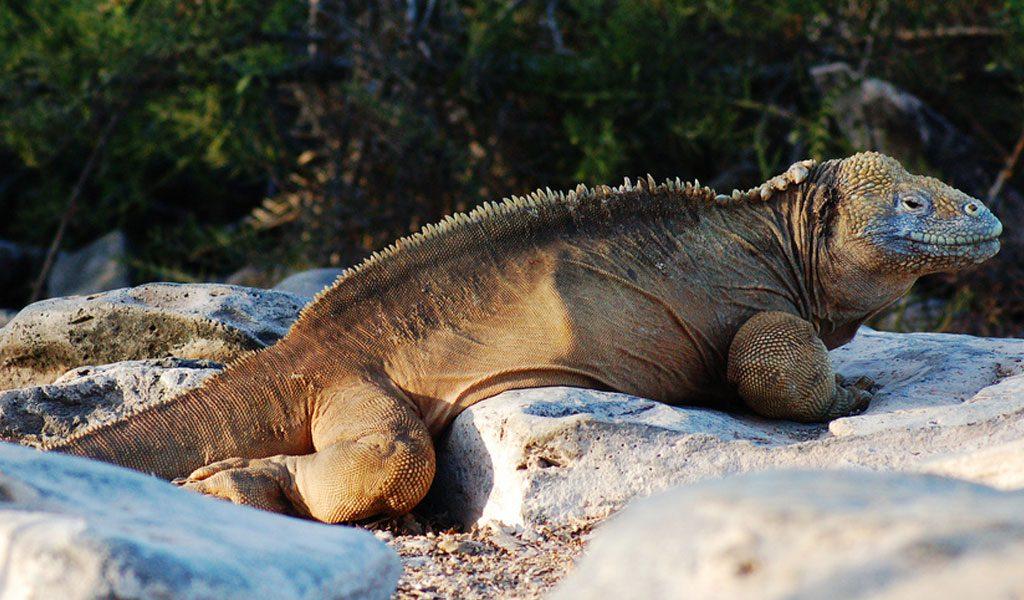 galapagos-land-iguana