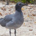 galapagos-lava-gull
