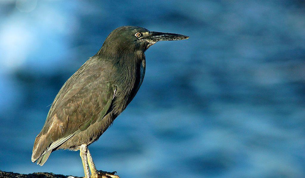galapagos-lava-heron