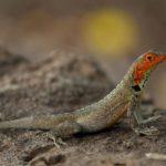 galapagos-lava-lizard