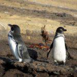 galapagos-penguins