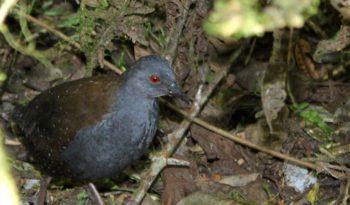 galapagos-rail-bird