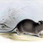 Galapagos Rice Rat