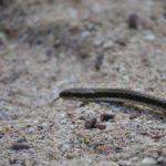galapagos-snake