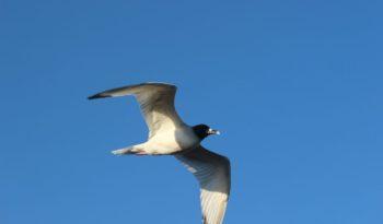 galapagos-swallow-tailed-gull