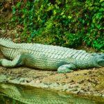 gharial