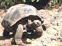 Domed Shaped Tortoise