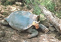Saddlebacked Tortoise