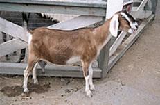 Goat pen