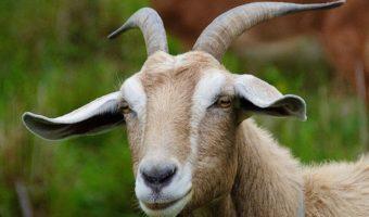 Goats - Facts, Diet, Milk & Habitat Information