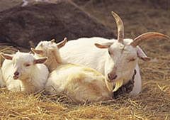 A female goat with her goat kids