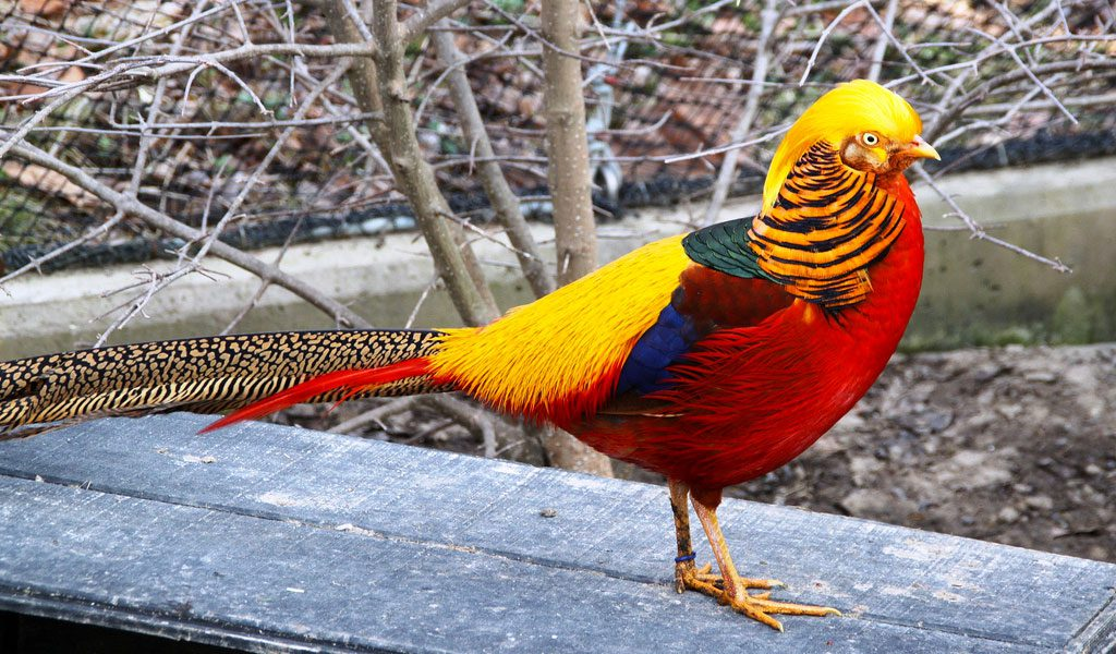 Golden Pheasant | Facts, Information and Habitat