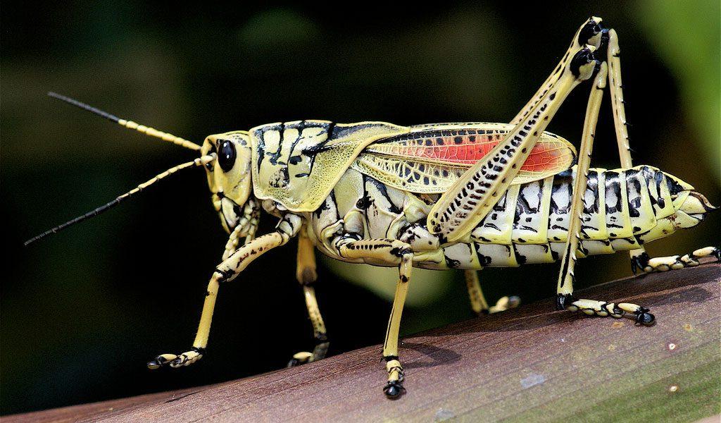[Image: grasshopper1-1.jpg]